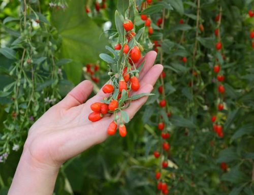 Goji Berries is the Superfood that will make you live longer, stay younger and feel better